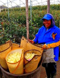 rose farm worker in ecuador on quilotoa loop