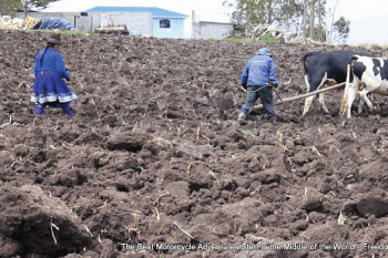 traditional farming in ecuador using work animals