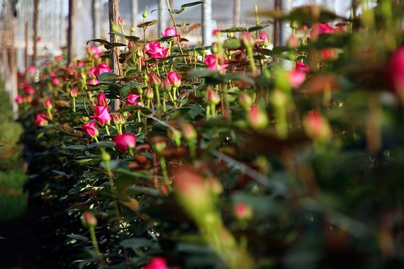 Rose Plantation Growing Ecuador