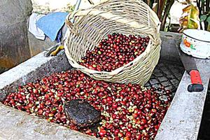fresh coffee beans just harvested in ecuador
