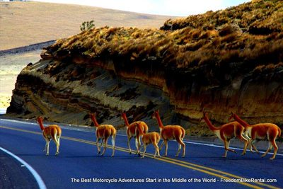 vicuna in chimborazo national wildlfe refuge
