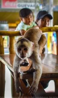 monkey population in misahualli ecuador motorcycle adventure tour