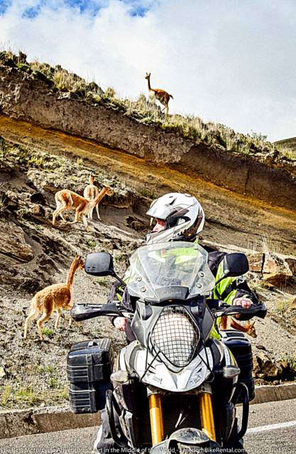 man on adventure motorcycle looking back at vicuna in chimborazo wildlife refuge in Ecuador