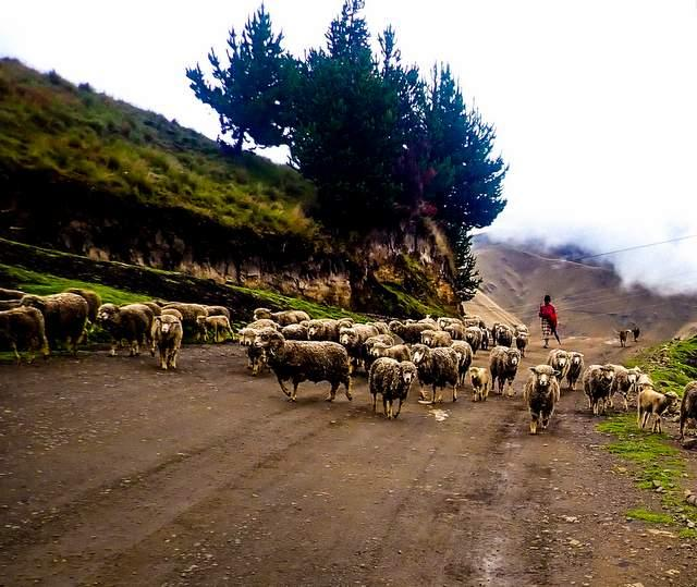 sheep and shepherd in Ecuador