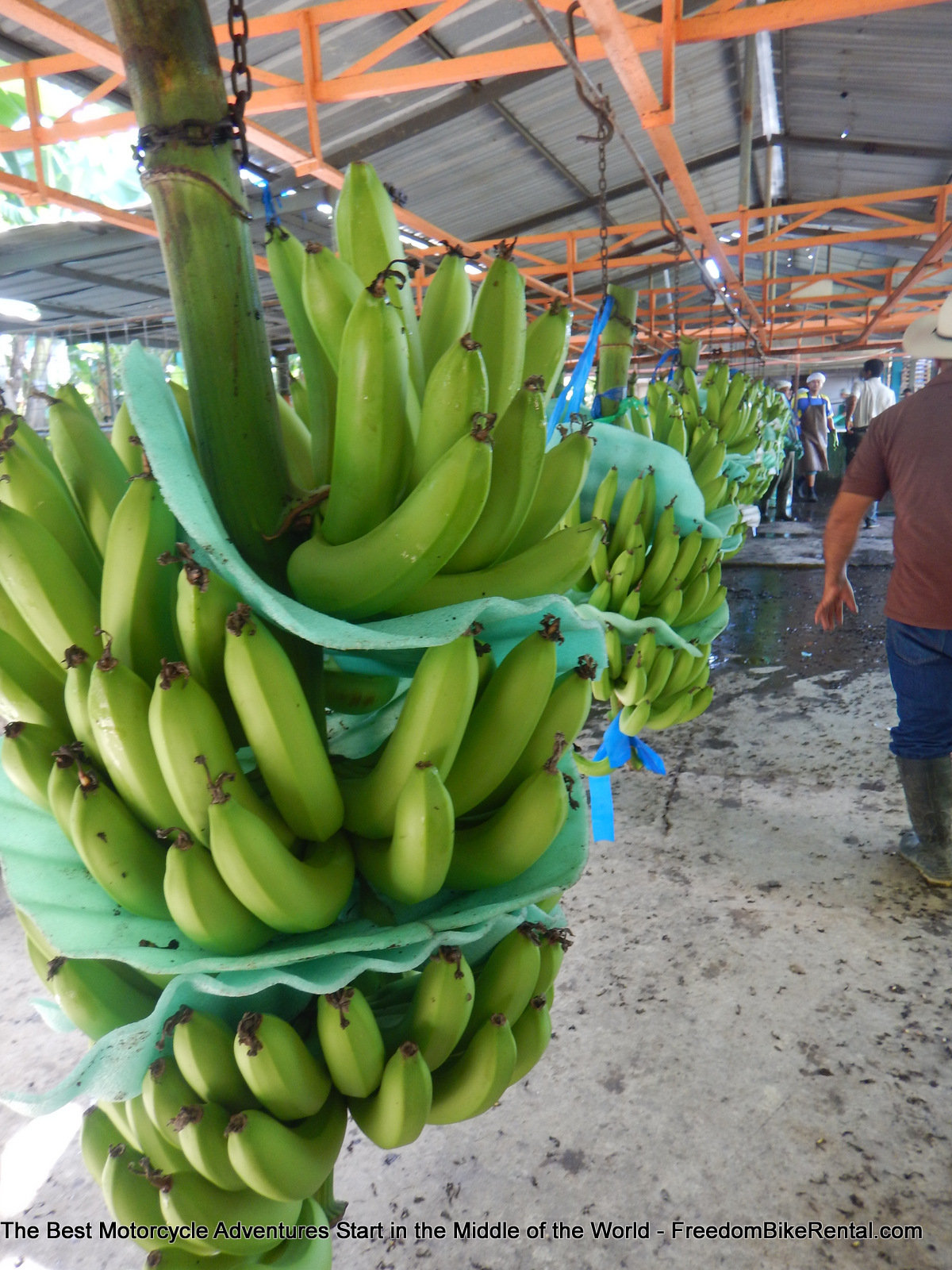bananas_in_vinces
