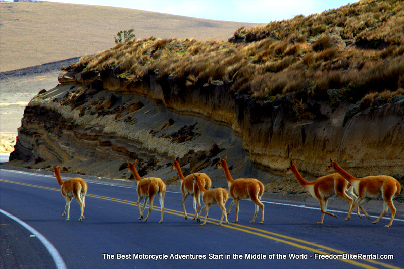 vicuna_crossing_road