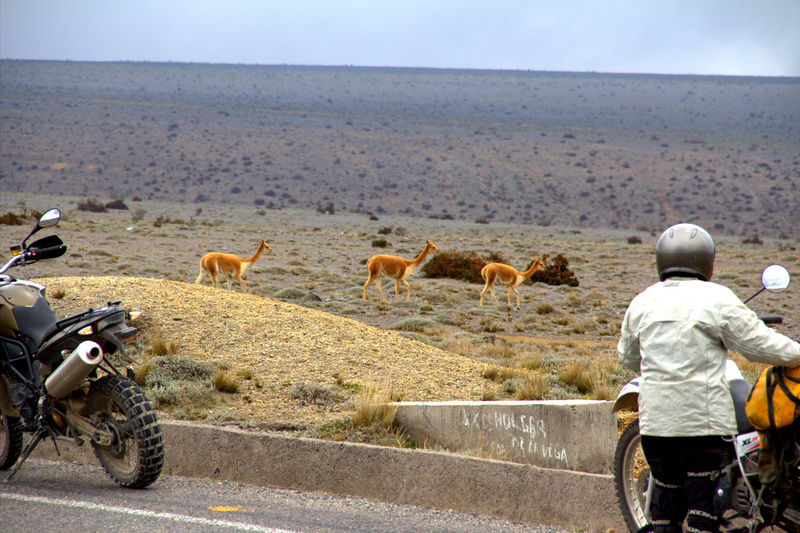 wild_vicuna_in_chimborazo_national_wr