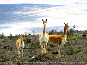 vicuna_in_chimborazo_wildlife_refuge