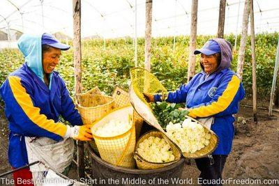 two women working on a rose farm in ecuador
